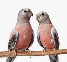 The world of parrots is incredibly diverse with different kinds of parrots in all colors, sizes, and temperaments. Many can make wonderful pets for people . Parrot Pet, Parrot Toys, Types Of Species, Monk Parakeet, Animals And Pets, Cute Animals, Australian Parrots, Bird Types, Cockatoo