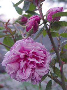 """""""Huilito"""" Found Rose, China/Bengale. pre 1903.   This one is new in my garden, hope it survives."""