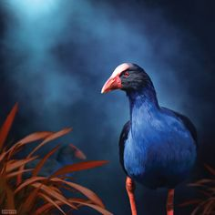 This Pukeko is on the prowl...by Julian Hindson Paper prints available from imagevault.co.nz