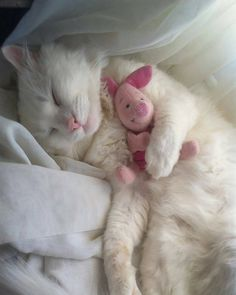 White kitten / kitty cat sleeping with Piglet stuffed animal / photography Chat chaton / chat blanc dormant avec un animal en peluche Porcinet / la photographie White Kittens, Cute Cats And Kittens, I Love Cats, Crazy Cats, Kittens Cutest, Ragdoll Kittens, Funny Kittens, Tabby Cats, Bengal Cats