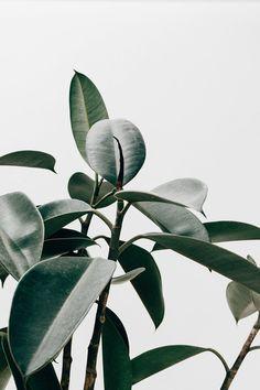 Plant Images, Plant Pictures, Plant Background, Greenery Background, Background Pictures, Rubber Plant, Rubber Tree, Johor Bahru, Plant Wallpaper