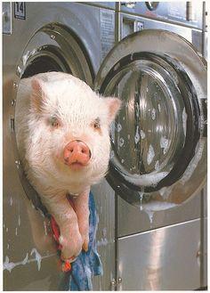 """""""Hog Wash!"""""""