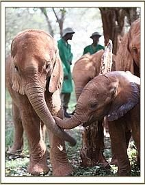 """elephant rescue Kenya: Orphan Elephants Rush To Comfort Baby Who Just Lost His Mom """"Though it is something we have seen time and again, the empathy shown by these elephants never ceases to amaze"""" Adopt An Elephant, Elephant Love, Baby Elephants, Baby Hippo, Cute Baby Animals, Animals And Pets, Funny Animals, Smart Animals, Wild Animals"""