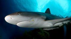 Reef Shark in Nassau / Nassau, New Providence, Bahamas: Stuart Cove's Shark Dive