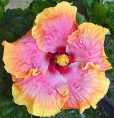 hibiscus dixieland