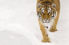 Adotta una Tigre - Sostieni WWF