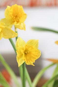 Decoração para um almoço de Páscoa - mesa posta em amarelo e laranja - arranjo central de narcisos