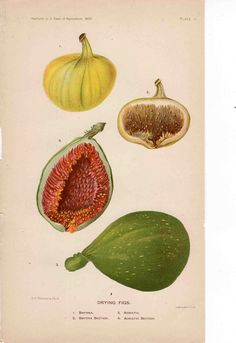 Drying figs — Original antique print from 1897.  It is a book plate lithograph printed in colour in the USA.