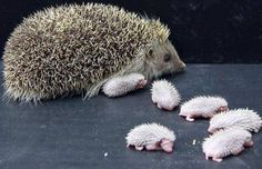 Hedgehog mom with her babies... http://pinterest.com/nfordzho/lovely-animals/
