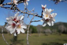 """Genießen Sie den Frühling auf Mallorca! Doch jetzt endlich blühen die Mandelbäume und der Frühling auf Mallorca beginnt mit viel Sonne. Besonders hier im Südwesten kann man mittags schon im Freien das """"menu del dia"""" genießen!"""