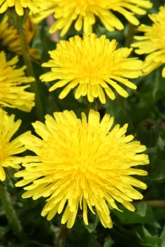 "dandelion, the most understated ""weed"", love it!"