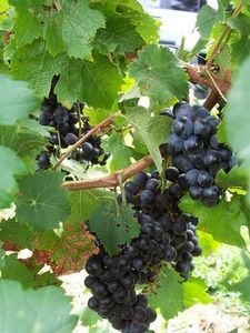 I now have grapes so - how to grow grape vines at home. I so want a scroll-ie barbed wire arch with purple grapes growing up it. Fruit Garden, Vegetable Garden, Garden Plants, Garden Trellis, Organic Gardening, Gardening Tips, Agriculture, Vides, Growing Grapes