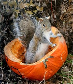 autumn.quenalbertini: Squirrel in a slice pumpkin | Hummingbird Cottage