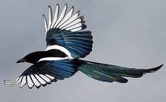 Image result for magpie flying