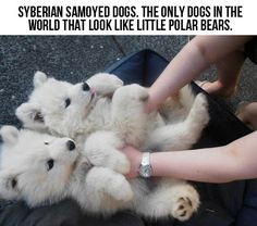 Polar Bear Dogs… I can have my own polar bear dog! Awwww yeah avatar time!