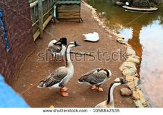 Brown Chinese Geese and one White Giant Embden Goose