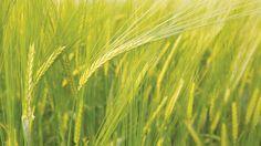 #Barley crop