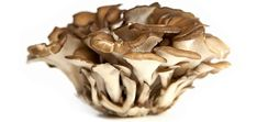 Maitake is the Japanese name for the fungus Grifola frondosa, which has a large, fruiting body and overlapping caps. Maitake has been used as a food and as medicine. Compounds and extracts of maitake have been studied for possible immune benefits, including antitumor effects. However, more human studies are needed.