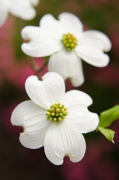 A profusion of Dogwoods in Spring (Dogwood Festivals)