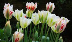 Tulipa 'Flaming Spring Green', London, April 2014