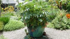 ANLD Garden Tour 2013 | Floramagoria Garden - Portland, Oregon -- Melianthus in a container, just gorgeous!