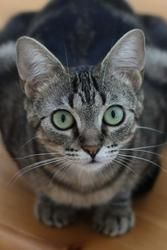 Lily is an adoptable Domestic Short Hair Cat in Somis, CA. Lily is a gorgeous 1-year-old classic tabby. �She is petite (7 lbs) and has enormous green eyes. �She is very outgoing, playful, and curious....