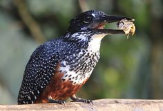 Giant Kingfisher, Megaceryle maxima at Rietvlei Nature Reserve, South Africa, #bird #picture
