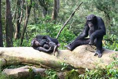 Tacugama Chimpanzee Sanctuary in Sierra Leone