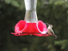 Humming birds at the feeder.