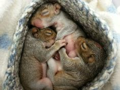 Check out these adorable baby squirrels taking a cat nap after a big meal. Matt Sampson has the story behind these furry creatures. Squirrel Pictures, Animal Pictures, Baby Animals, Cute Animals, Baby Squirrel, Little Critter, Chipmunks, My Animal, Cute Babies