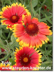Staudenfoto zu Gaillardia x grandiflora 'Bijou' Kokardenblume) Shops, Plants, Lawn And Garden, Tents, Retail, Plant, Retail Stores, Planets
