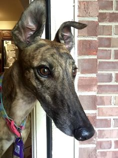 Brindle greyhound; retired racer
