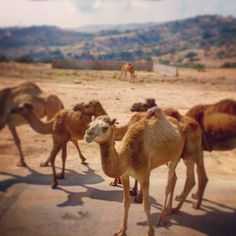 Acting like he's never seen a german tourist before. #arabic #oman #salalah #desert #camels #camel #wildanimals #naturephotography #nature #animals #travel #travelgram #cruise #seetheworld #worldtraveler