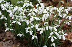Snowdrops in the areas where the bluebells grow,  first I see the snowdrops then as they die the bluebells replace them