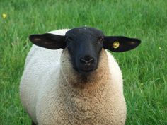 Suffolk Sheep - not a traditional fiber sheep, but cute none-the-less. Dumb Animals, Suffolk Sheep, Baa Baa Black Sheep, Barnyard Animals, Sheep And Lamb, Hobby Farms, Livestock, Farm Life, Amazing Nature
