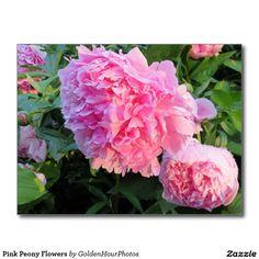 Pink Peony Flowers Postcard