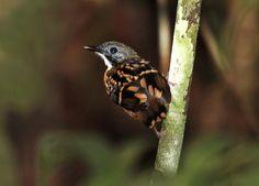 Foto guarda-floresta (Hylophylax naevius) por Valdir Hobus | Wiki Aves - A Enciclopédia das Aves do Brasil