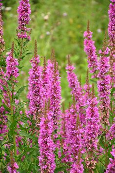 Perennial Salvia or Lythrum salicaria Kattestaart Pink And White Flowers, Purple Flowers, Butterfly Flowers, Summer Flowers, Purple Loosestrife, Plant Painting, Colorful Garden, Salvia, Flowering Trees