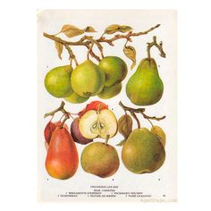 Obst Druck botanische Birne Illustration Vintage Küche von AgedPage
