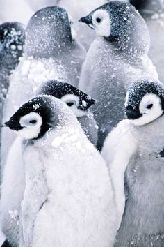 Penguins in snow