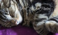 Sleeping Tabby Kitty Digital Download by PurrsOfLovePhotos on Etsy #cats