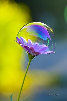 ~~Bubblicious | African Daisy with a bubble | by Tim Owens~~