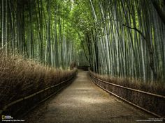 Bamboo forest outside of Kyoto, Japan