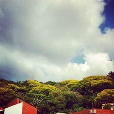 Garapuvu Trees with there yellow flowers! -Lagoa da Conceição