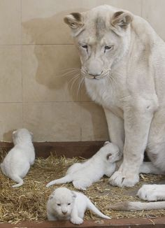 White lioness Azira stands next to her three white cubs that are one week old in a private zoo in Borysew, in central Poland
