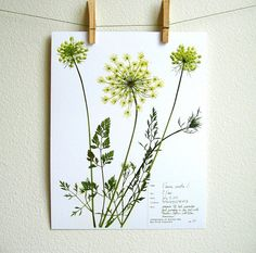 Real Pressed Botanical PRINT, Original Herbarium Specimen Art, Botanical Print, Queen Anne's Lace, Scientific Art, Wild Carrot, Wildflower