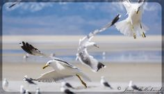 Seagulls in flight at the Great Salt Lake, Utah
