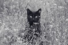 Black Cat. Beautiful photo!
