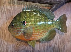Minnesota Fishing Reports Some Replica Panfish [Outdoor Forums - Panfish] Fishing Tips, Fishing Lures, Best Aquarium Fish, Fish Mounts, Fish Paintings, Rare Fish, Lake Side, Lure Making, Brown Trout