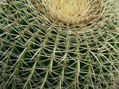 Kakteengewaechse kaktus kakteen stacheln piechsig Magnoliophyta